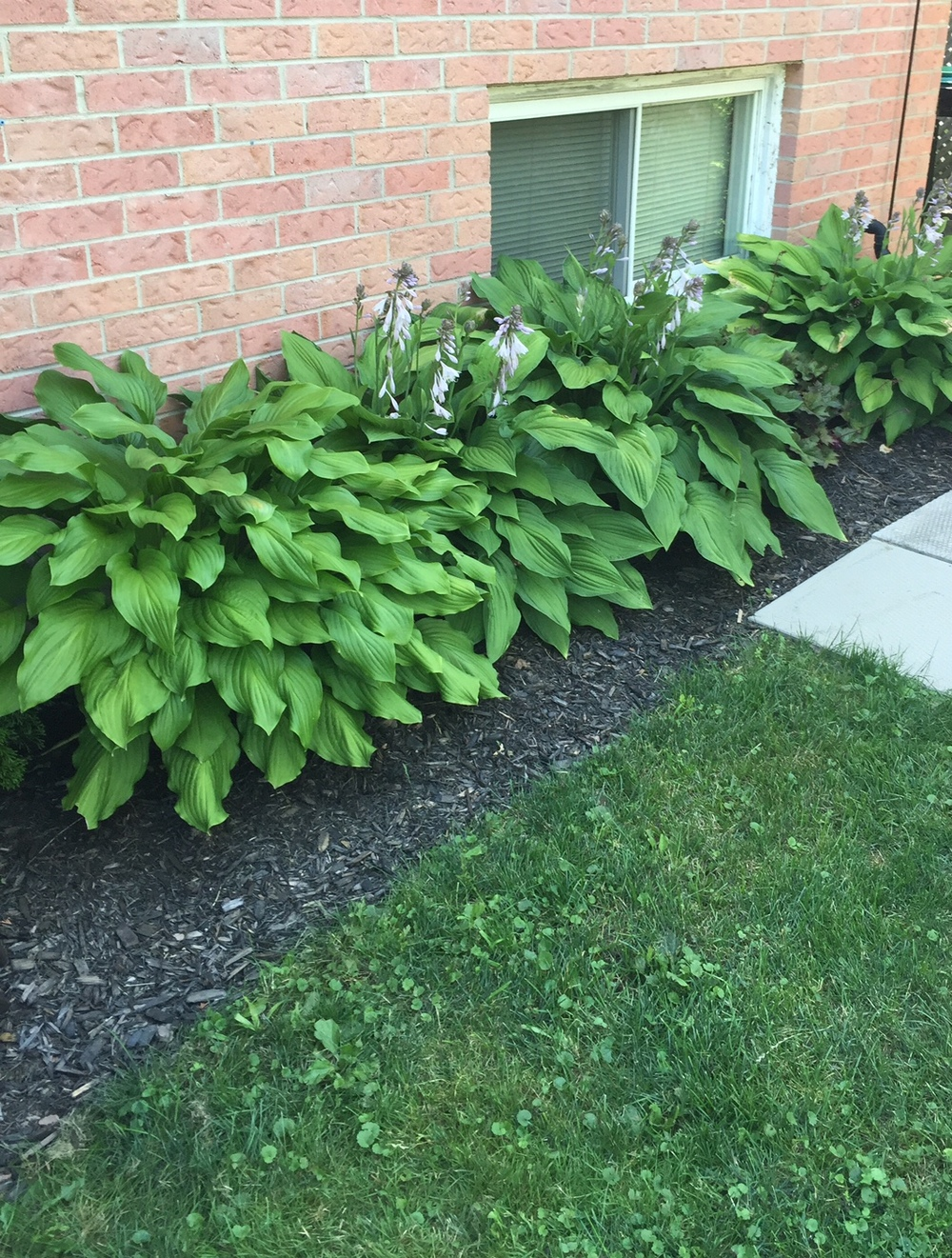 As you can see, my hostas aren't having any trouble growing! Planning to split them this fall