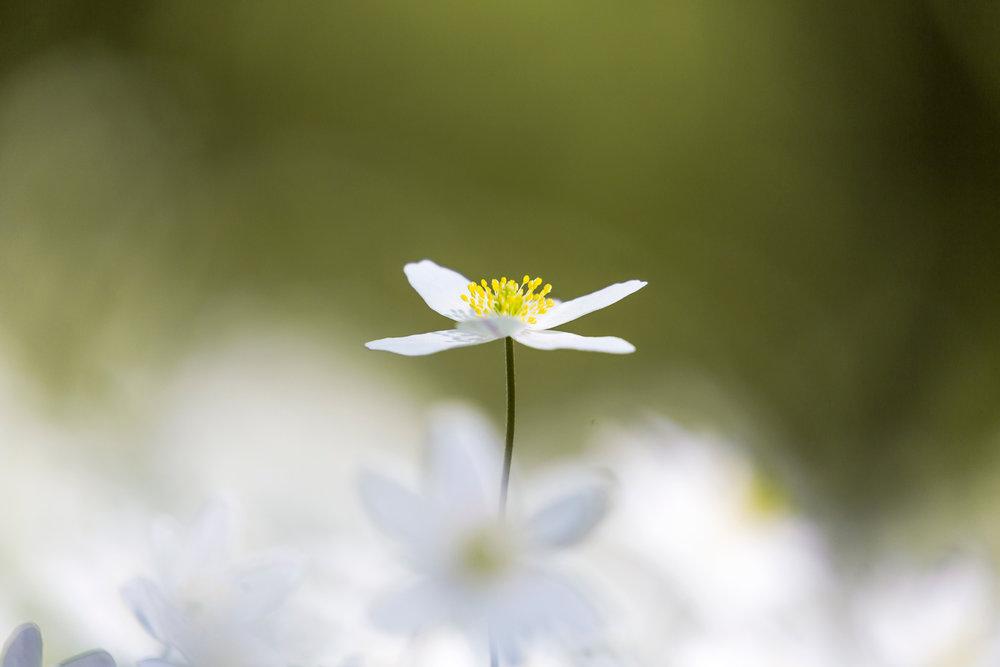 Våren är här på riktigt när vitsipporna tittar fram och gör hela marken grön och vit.