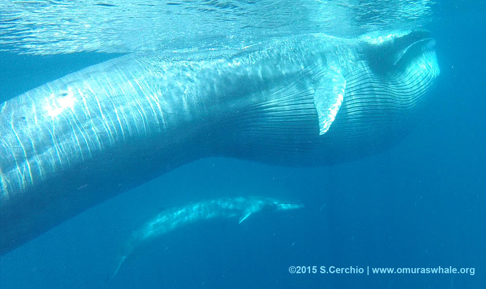 Omura's whale mom feeding with calf nearby