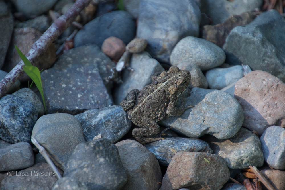 Toad at the Water's Edge