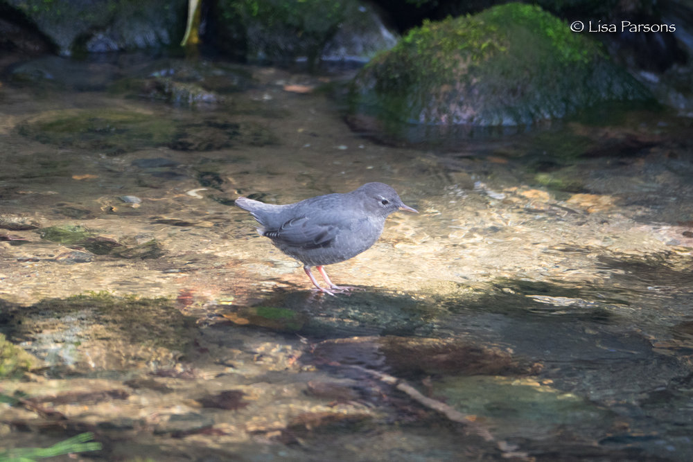 Water Ouzel in Icy Creek