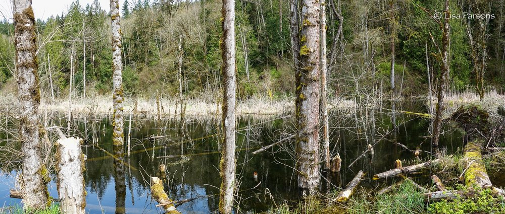 More Wetland Along Forest Edge