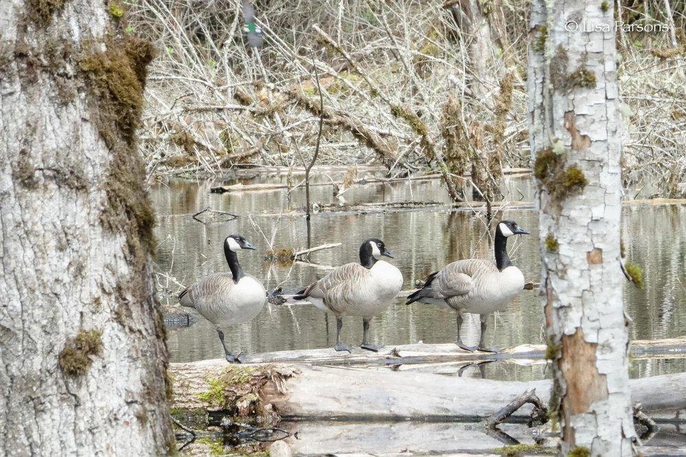 Geese Enjoying the Solitude