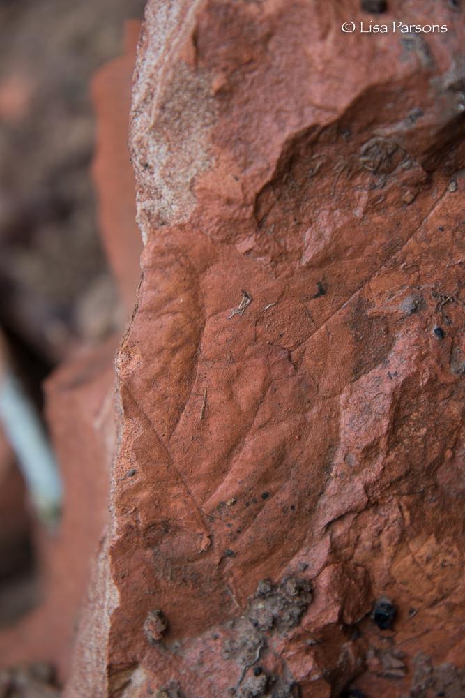 Sedimentary Leaf Prints in Sandstone