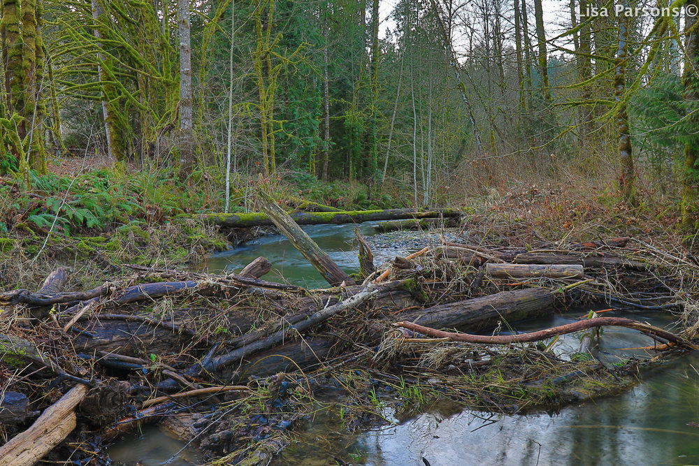 Beaver Dam at Flaming Geyser along a side channel.