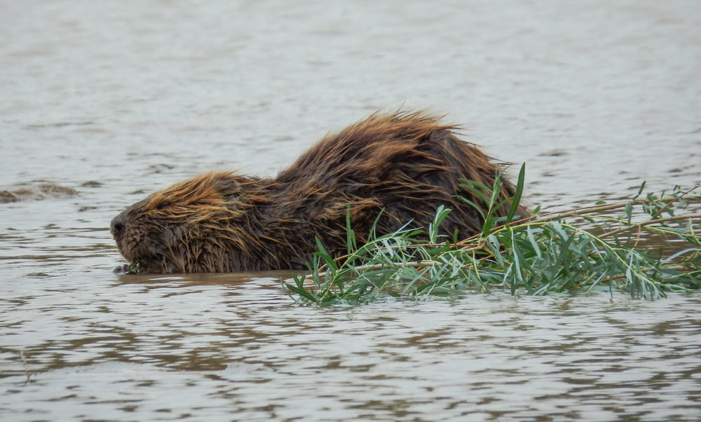 Beaver in Shallow Area