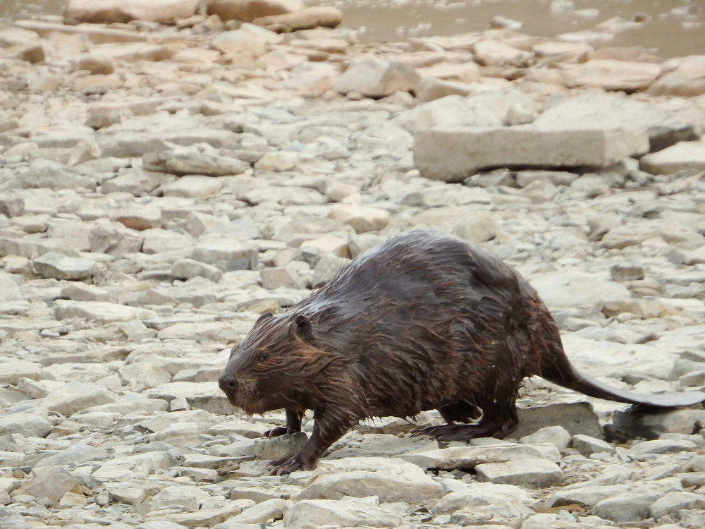 Beaver Walking Along Rocky Beach