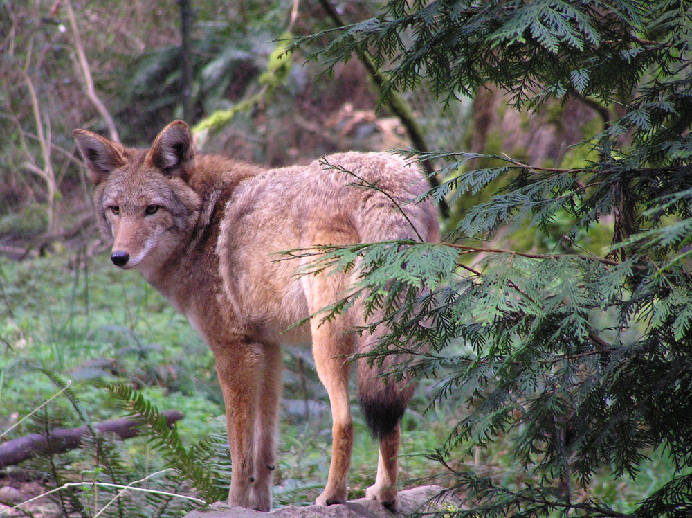 Coyote along the rim of the Gorge