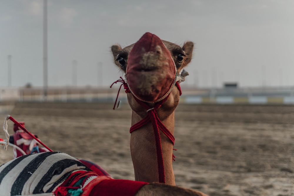 Camel Robots by Fraser Morton24.jpg