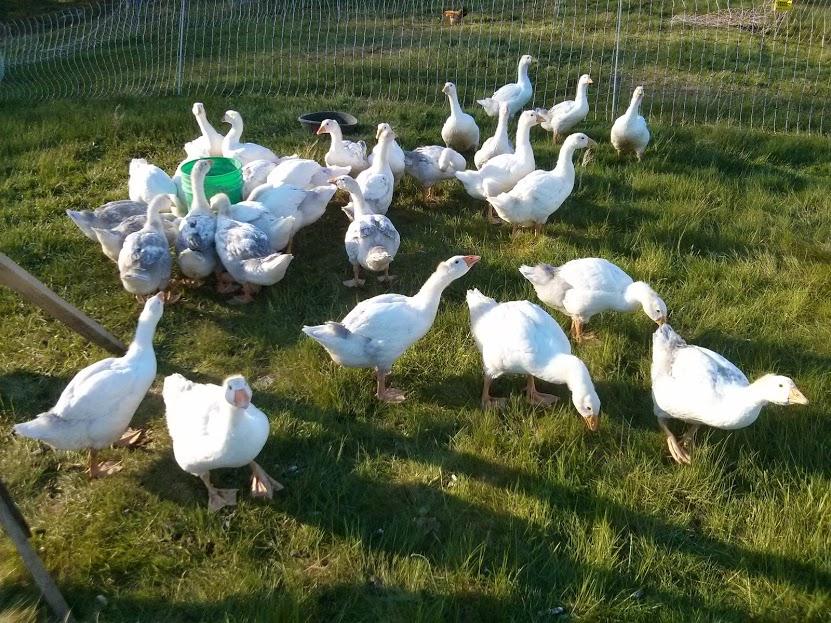 geese on pasture.jpg