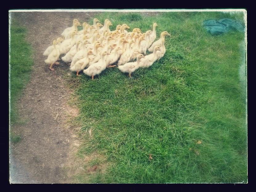 ducklings to the field.jpg