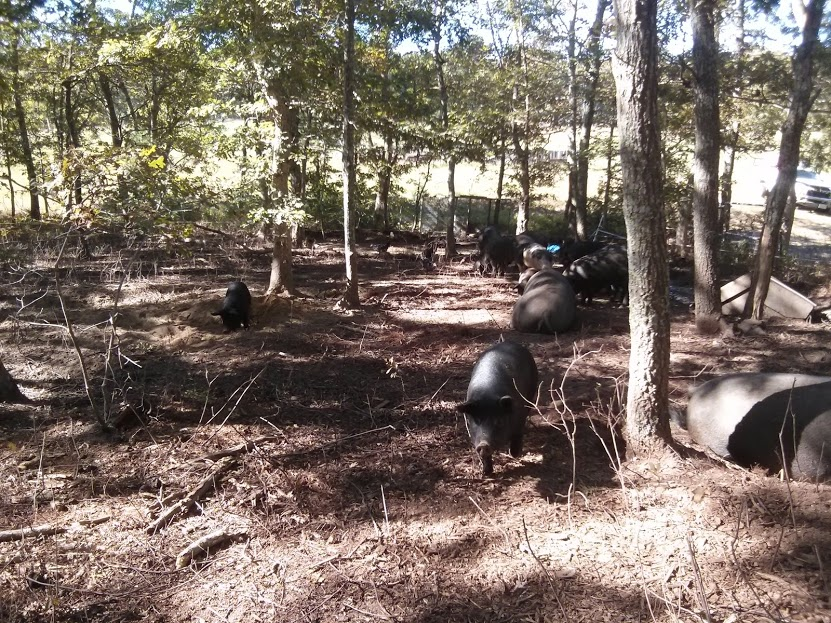 pigs clearing the woods.jpg