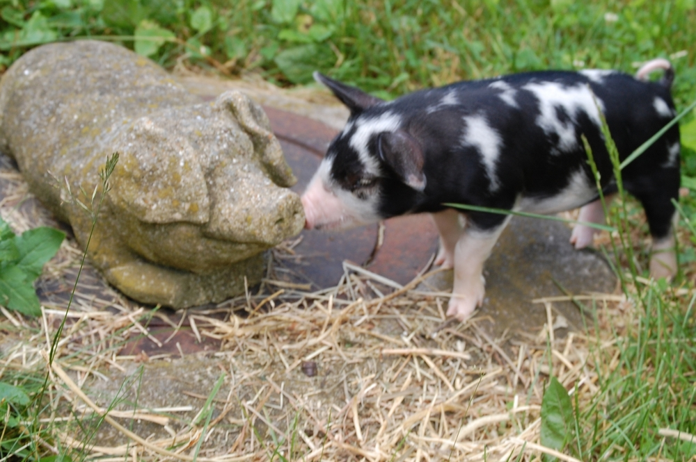 Pickle the pig and stone the pig