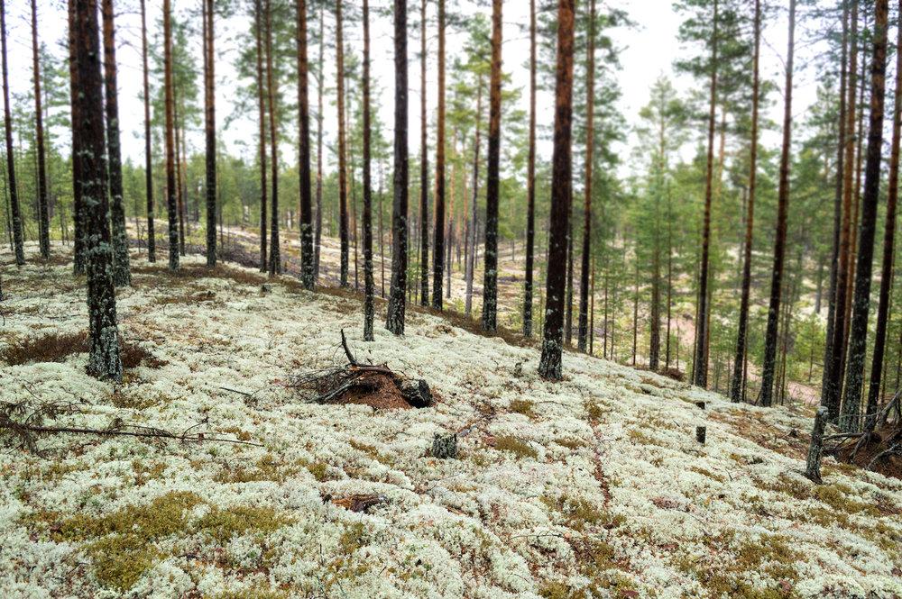 Rentiermoos im Norden Skandinaviens