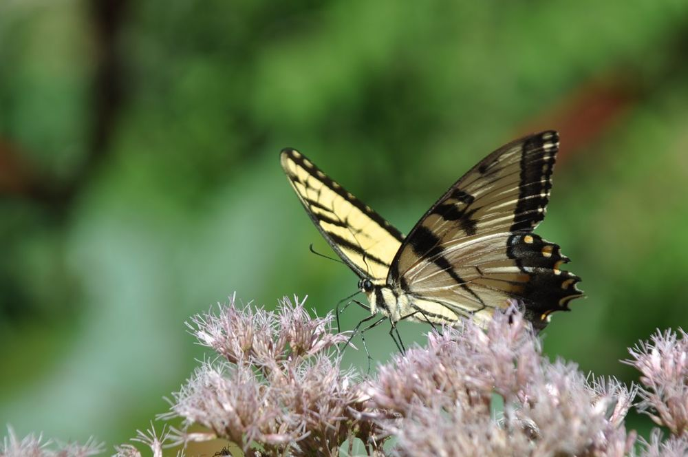 swallowtail_butterfly_eating_nectar.jpg