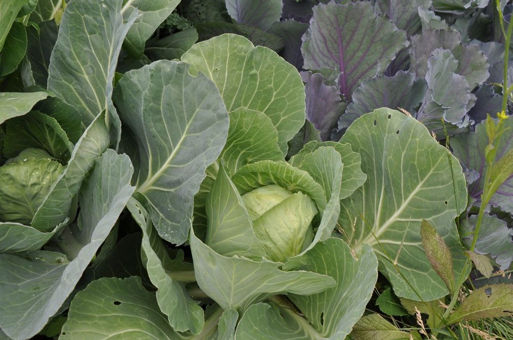 growing_cabbages_0.jpg