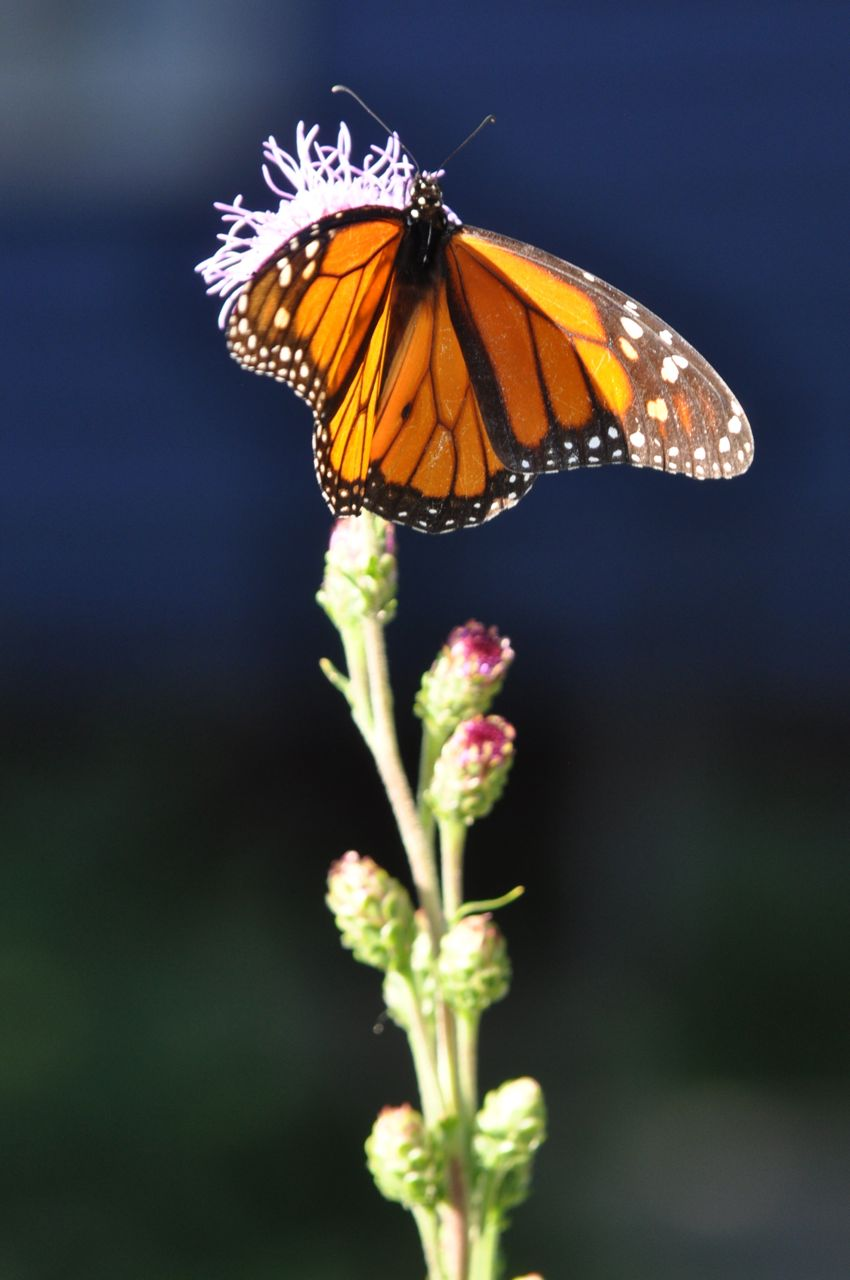 Monarch_Butterfly_On_Liatris_Minnesota