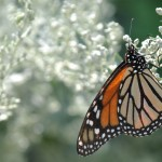 Monarch_On_Sage_