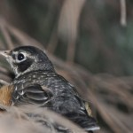 PageLines- Baby_Robin_In_Nest.jpg