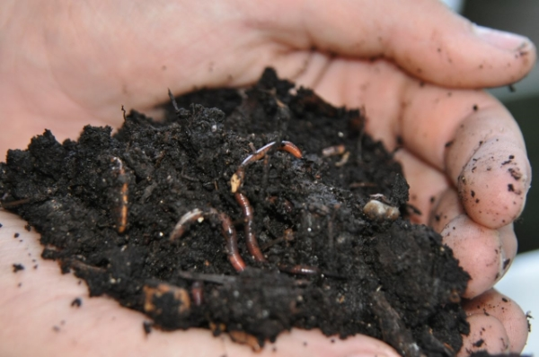 Red_Wiggler_Worms_In_Compost_-300x199.jpg