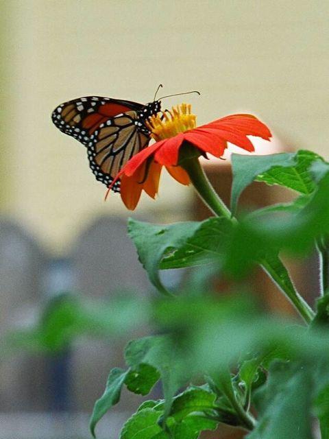 monarch_butterfly_gardening.jpg