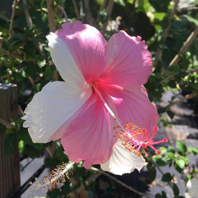Split Tone Hibiscus #anywherealoha