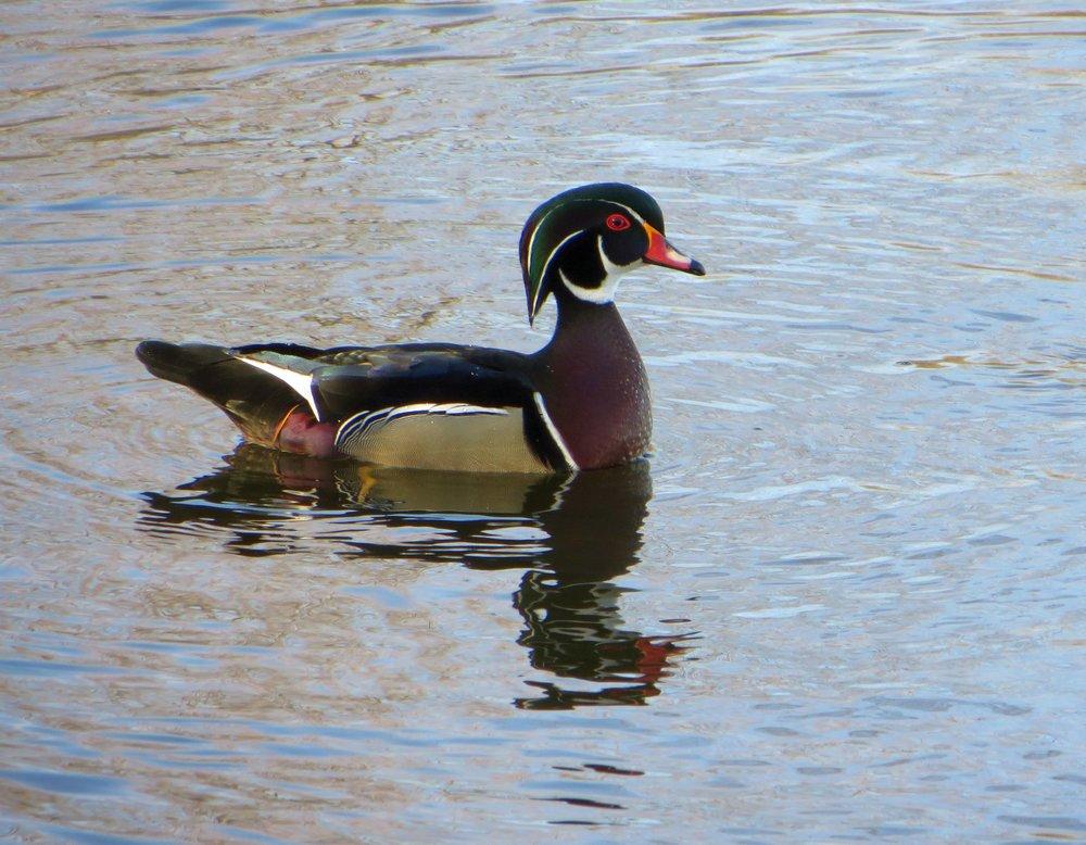 1 Wood Duck
