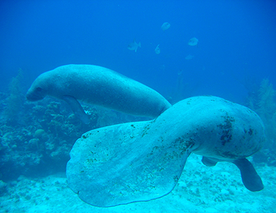 Scuba diving with manatees is a rare treat.