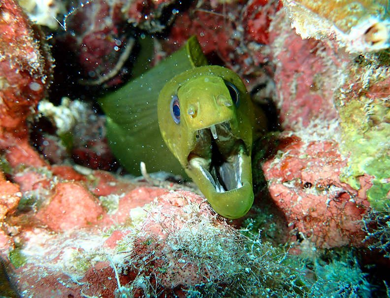 Moray Eel in the coral of Belize