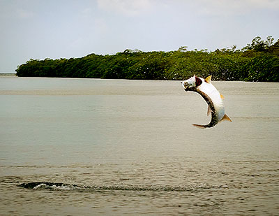 Tarpon fishing in Belize - giant tarpon is caught and released