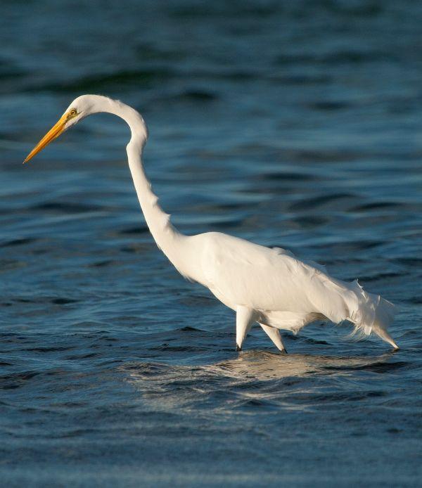 Birding adventures at Turneffe Atoll - Egret