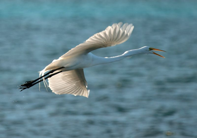 Soaring egret Turneffe atoll Belize