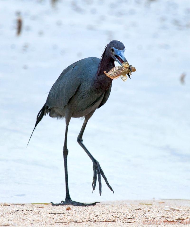 Blue heron feeding at Turneffe Atoll