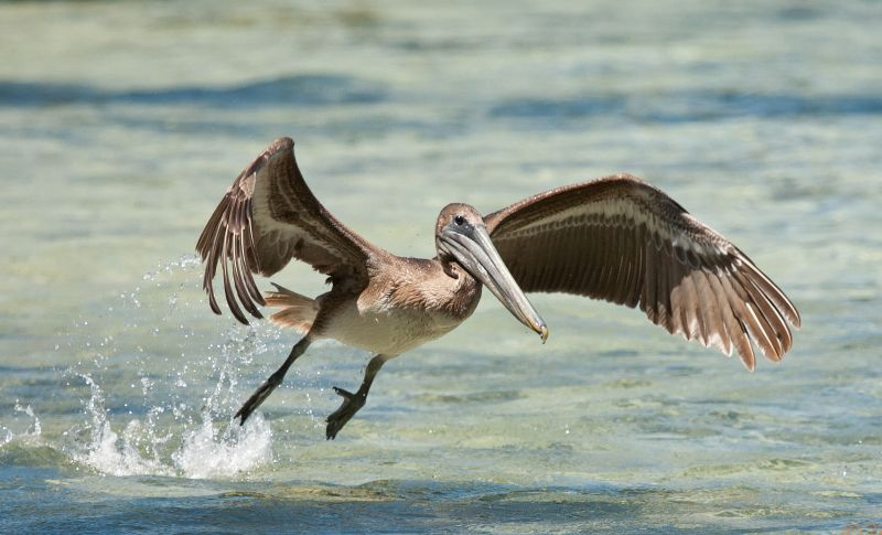 Brown Pelican - Birding Eco-tour at Turneffe Flats