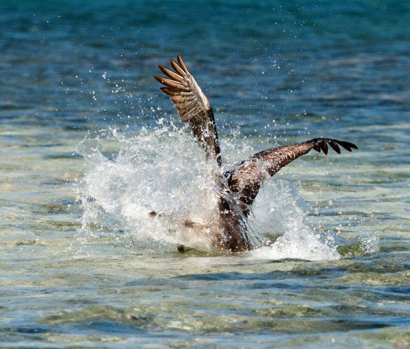 Diving osprey Belize