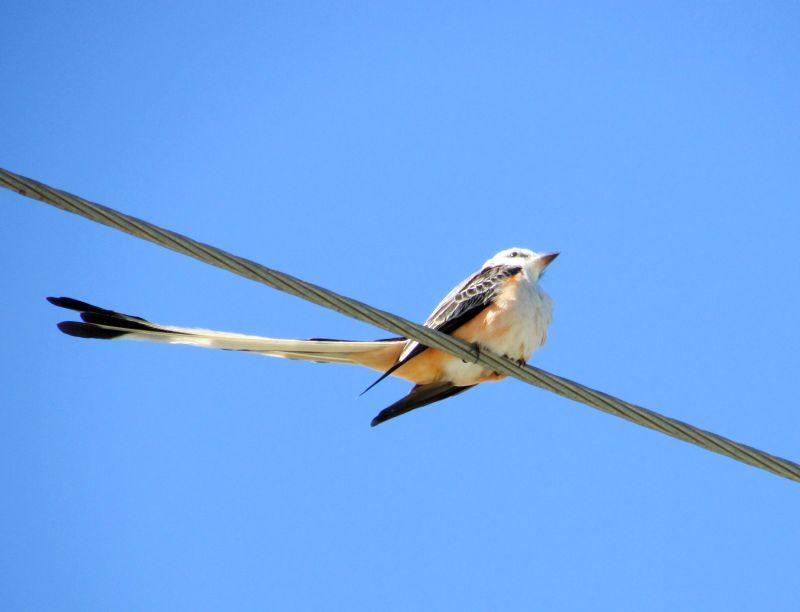 Birding in Belize - over 60 species inhabit Turneffe Atoll