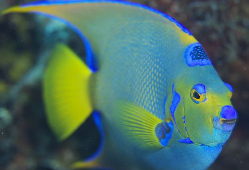 See brilliant colored Angel fish