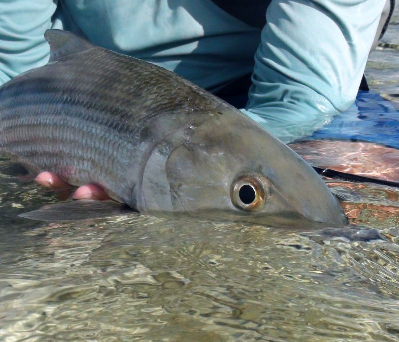 Big bonefish caught in Belize at Turneffe Atoll with the fishing guides at Turneffe Flats. Kalman Photo