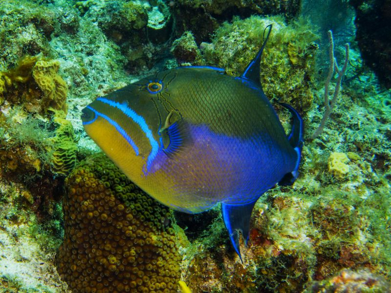 Queen Trigger fish seen while snorkeling in Belize