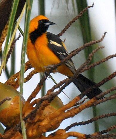 Birding on Turneffe Atoll