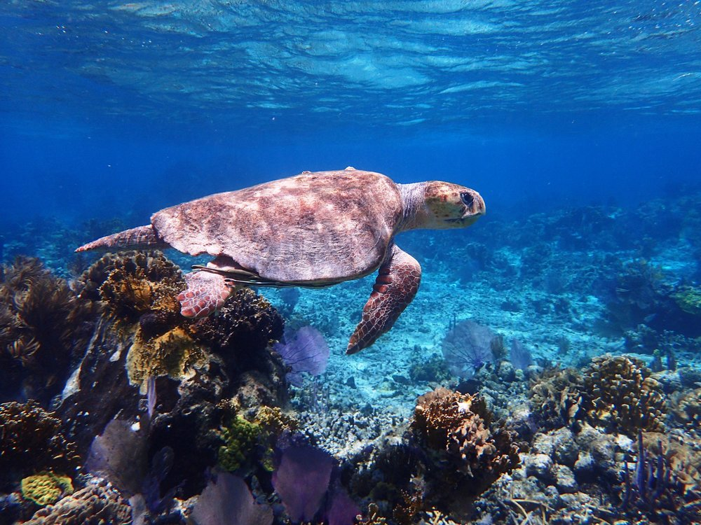 Belize Snorkeling - Ocean Turtle