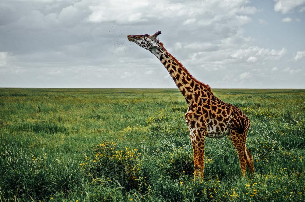 Giraffe Tanzania.jpg
