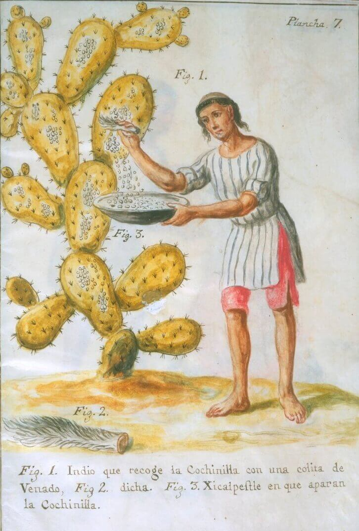 Harvesting cochineal destined to color your pastries and crab meat.