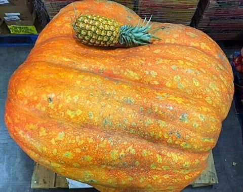 Spotted in our warehouse today... a 1,000 pound #pumpkin and its #pineapple friend suffering from a post-Thanksgiving #foodcoma! #naptime ◇ ◇ ◇ #produce #producedepartment #wholefoods #traderjoes #foodart #foodphoto #foodphotography #thanksgiving #november #fall #pineapples #pumpkins #hawaii #luckywelivehawaii #vegan #vegetarian #healthy