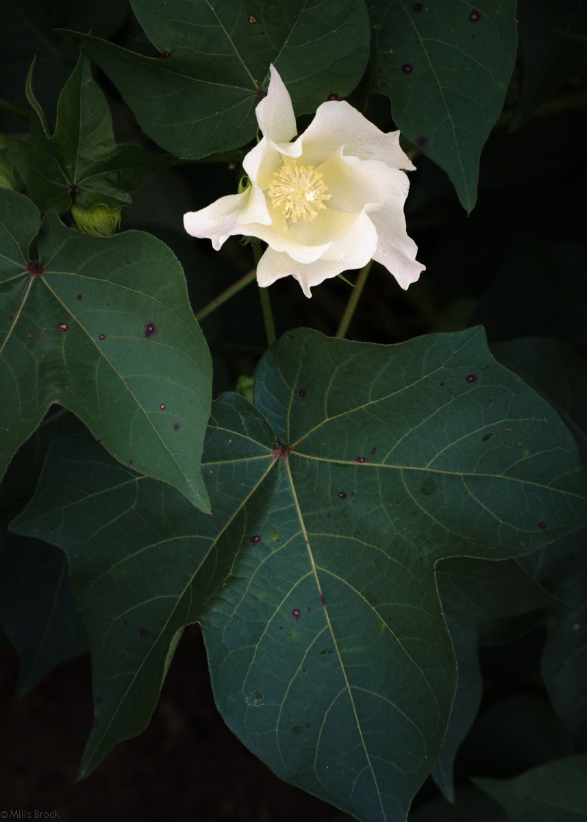 3riversrealty_cotton_cotton-flower_south-georgia_farm_.jpg