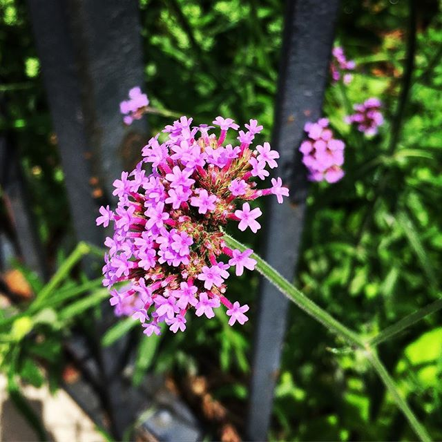 tiny purple flowers creeping out of the promenade gardens #brooklynheights #floralinspiration #petalsandpleats