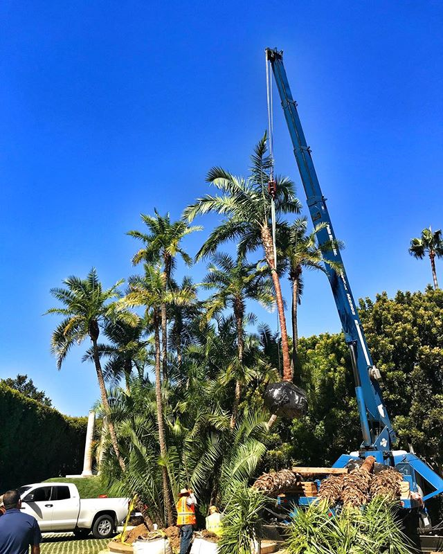 #palmtree addition going in today #landscapeinstallation #landscapedesign #landscapesofinstagram #fslps #beverlyhills #treestagram