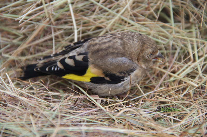 'Our' goldfinch minutes after flying into the window. Only adult goldfinches have the red  face feathers - this one was a juvenile.