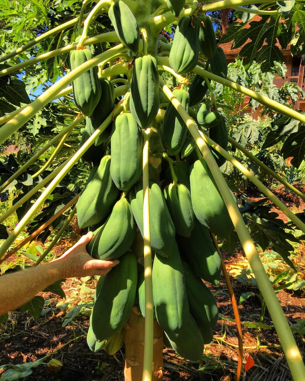 Giant Papayas!