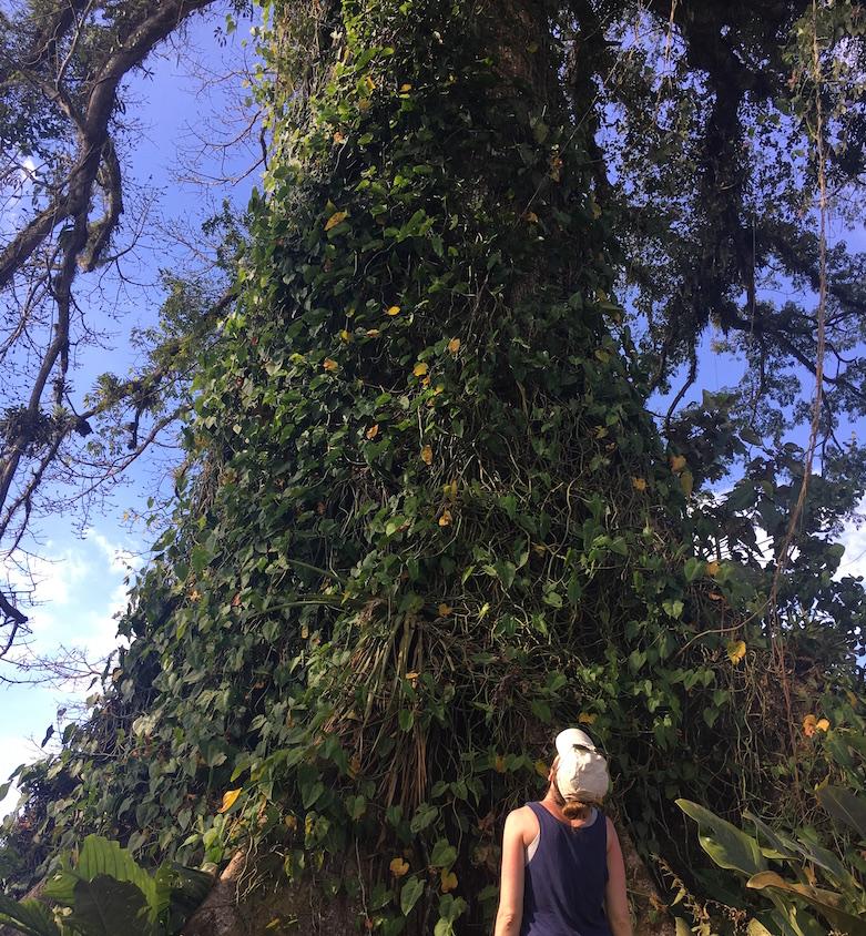 Ceiba tree cropped.JPG